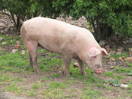 Pig, Sow, Livestock, Agriculture, Mammal, Animal, Dirty