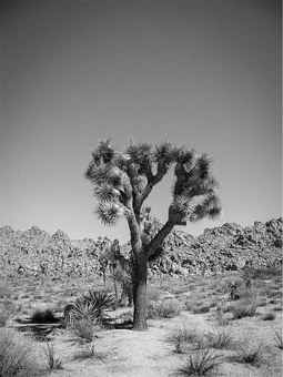 Desert, Trees, Shrubs, Rocks, Black And White