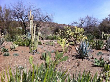 Cactus, Desert, Arizona, Catcus, Landscape, Outdoors