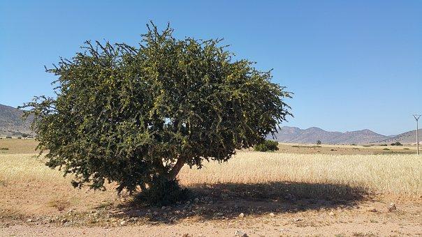 Morocco, Argan, Oil, Desert, Tree