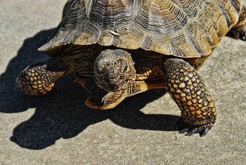 Desert Tortoise, 36 Inch, Rescue Tortoise