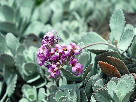 Kalanchoe Pumila, Cactus, Desert, Water, Green, Nature