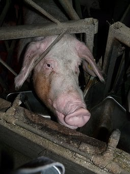 Pig, Sow, Stall, Dirty, Proboscis, Hanging Ears, Grid