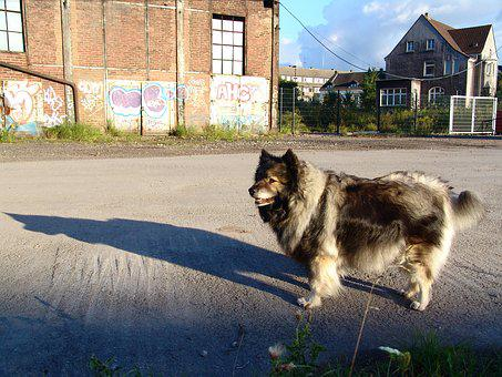 Keeshond, Pointed, Dog Breed, Dog, Race