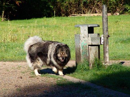 Keeshond, Dog Breed, Dog, Race, Pointed