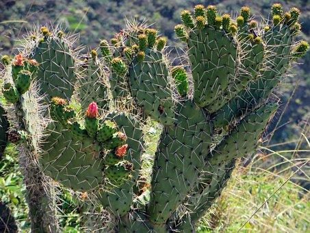 Ecuador, Opuntia Littoralis, Cactus, Flower, Thorns