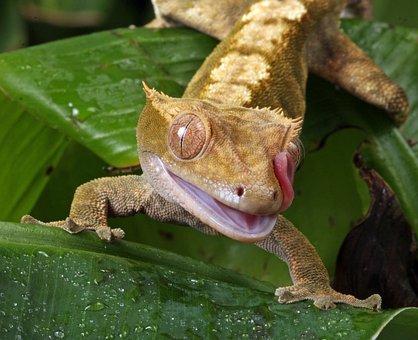 Gecko, Tongue, Flicking, Macro, Portrait, Close-up