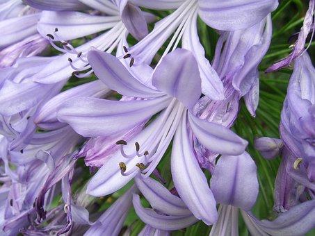 Agapanthus, Flower, Purple, Floral, Plant, Blossom