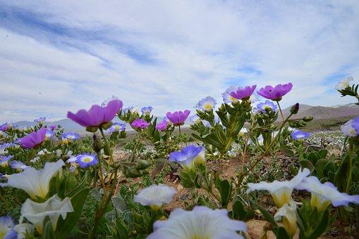 Sky, Flowering Desert, Flowers, Purple, Flower, Desert