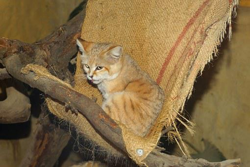 Cat, Sand Cat, Desert Cat, Fur, Soft, Cuddly
