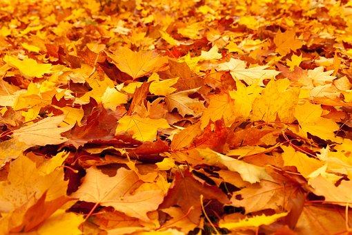 Autumn, Autumn Leaves, Fall, Foliage, Gold, Leaf, Maple