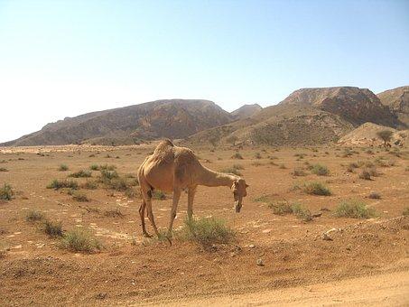 Dubai, Desert, Landscape, Mountains, Camel, Animal