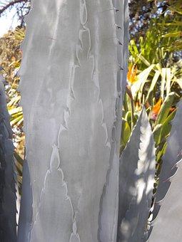 Agave, Cactus, Plant, Desert, Succulent, Cacti, Summer