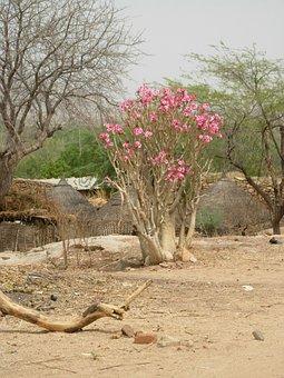 Desert Rose, Nature, Africa, Sahel