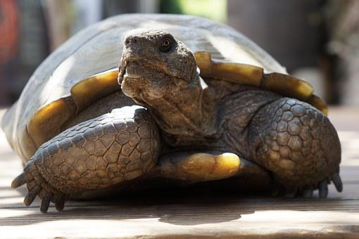 Tortoise, Desert Tortoise, At Rest, Old Age