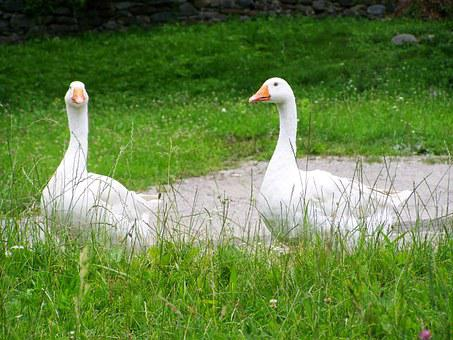 White Goose, Home Fowl, Animal