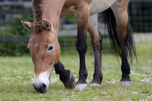 Przewalski, Wild Horse, Pasture, Eat, Graze, Mammal
