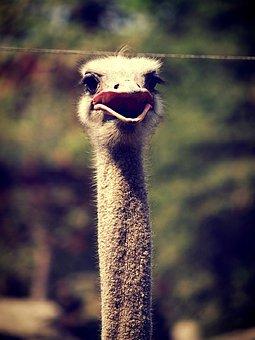Animal, Ostrich, Emu, Africa, Face, Head, Closeup