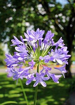 Agapanthus, Love Flower, Flower, Blue
