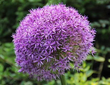 Allium, Alliumblueten, Purple, Garden, Nature, Flora