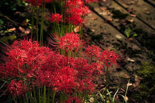 Plant, Flowers, Japan, K, Spider Lily, Amaryllis