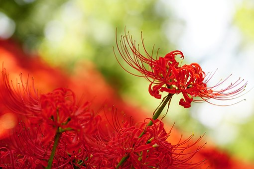 Amaryllis, Amaryllidaceae, Spider Lily, Red Flowers