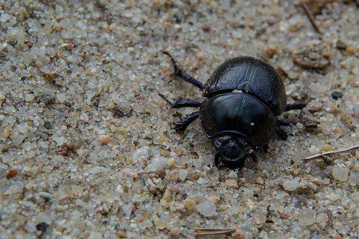 Anoplotrupes Stercorosus, Forest Dung Beetle, Nature