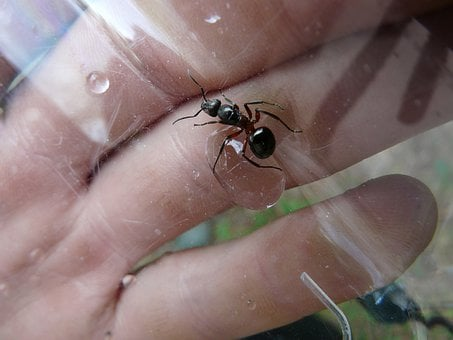 Forest Ant Queen, Ant Queen, Wood Ant, Ant, Nature