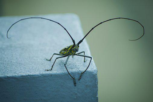 Insect, Pet, Macro, Antennas, Horn, Clean, Beetle