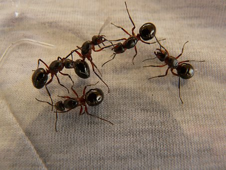 Forest Ant Queens, Ants, Wood Ants, Formica
