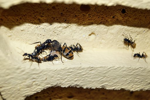 Scaly Ant, Ants, Ant Queen, Insect