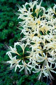 Plant, Flowers, Japan, Spider Lily, Amaryllis, Autumn