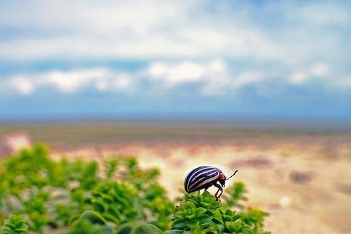 Potato Beetle, Beetle, Insect, Pest, Salt Premiere