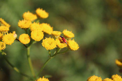 Yellow Flowers, Flowers, Yellow, Beetle, Red Beetle