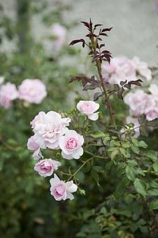 Roses, Bush, Wild Rose, Blossom, Bloom, Pink, Nature