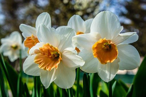Blossom, Bloom, Narcissus, Narcissus Pseudonarcissus