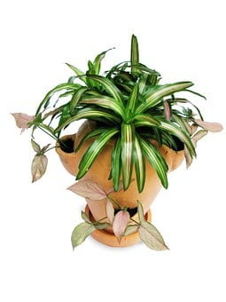 Bromeliads, Singonium, Pot-scaping, Ornamental Plants