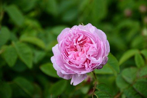 Flower, Pink, Centifolia, Perfume, Pink Flowers, Garden