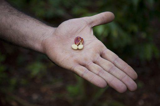 Coffee Beans, Coffee Plantation, Plantation, Cuba