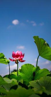 Flower, Lotus, Red, Vietnam, Background, Enough