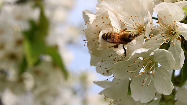 Bee, Flower, Spring, Flourishing Pear, Nectar, Pollen