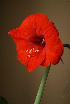 Amaryllis, Flower, Red, Bloom, Flowering, Bulb, Stamen