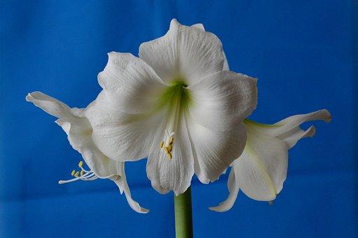 Amaryllis, Hippeastrum, Amaryllidaceae, Flower
