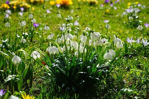 Spring Knotenblume, Snowflake, Flowers, Close, Detail