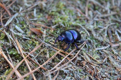 Dung Beetle, Skrarabäus, Forest Floor, Forest
