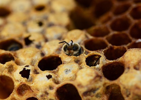 Honey Bees, Drone, Hatching, Male Bee, Beehive, Honey