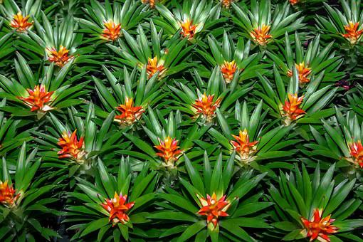 Bromeliad, Plant, Nature, Jungle, Tropics, Flora