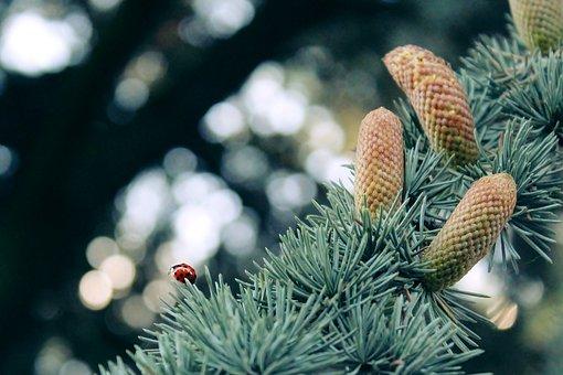 Ladybug, Silver Fir, Fir, Branch, Pine Needles, Road