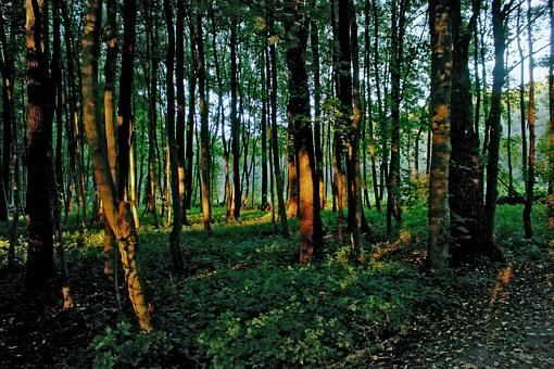 Forest, Light, Last Rays, Mood, Light Beam, Trees