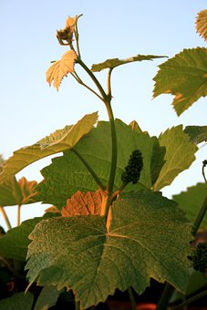 Vine, Grape, Leaves, Green-gold, Tendril, Sunlight
